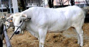 Tempo della tradizione a Carmagnola con la giornata dei bovini e del porro.