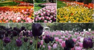 """""""Messer Tulipano"""", dal 31 marzo la 19a edizione"""