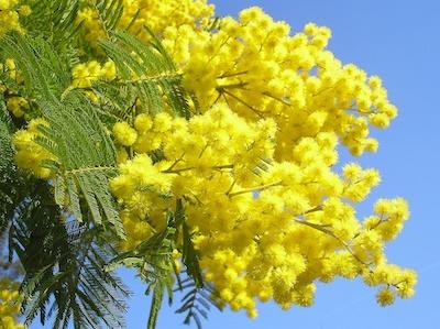 Carmagnola mimosa festa della donna 8 marzo