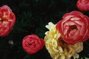 peonie in fiore vivai delle commande carmagnola maggio 2018