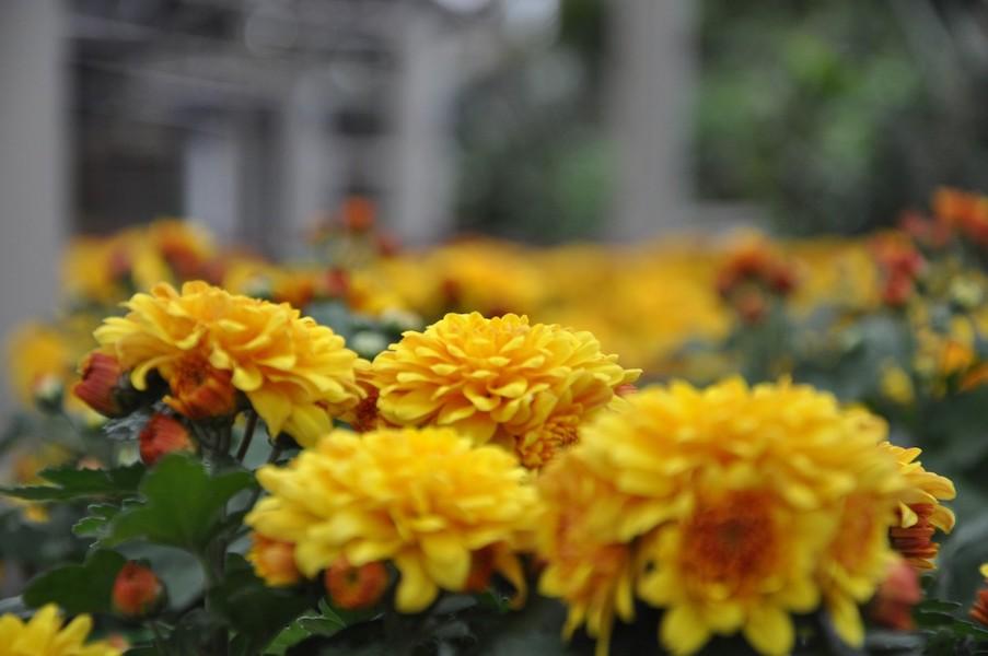 novembre crisantemi