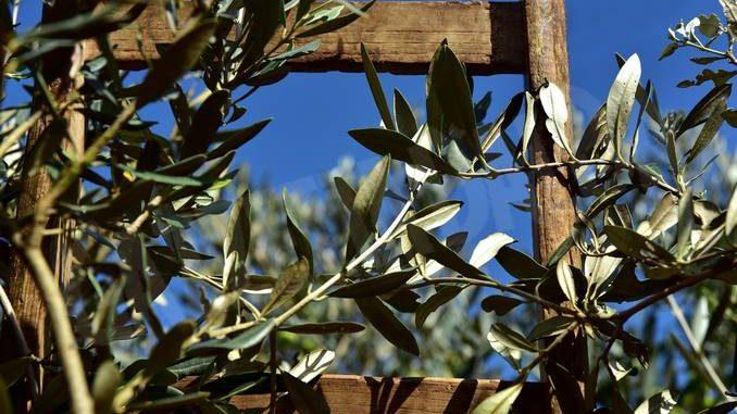 ulivo domenica delle palme Ceresole d'Alba