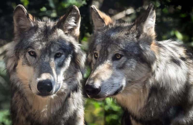 sparare ai lupi prino legambiente