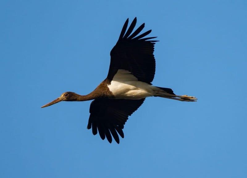 cicogna nera in volo ph Filippo Marmo